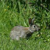 Kaninchen2